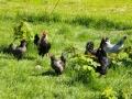 Høns (1).jpg