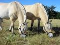 Heste (12).jpg